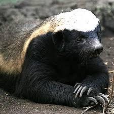 Honey Badger contemplative